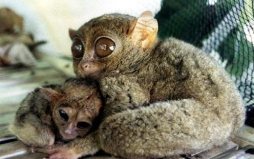 A newborn tarsier is cuddled by its mother after giving birth in captivity in the Philippine town of Saranggani in 2002