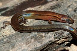 A new lizard species in Ratanak Kiri province