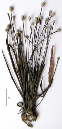 A new pipewort species from a unique, but fragile habitat in India