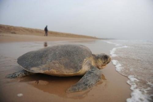An Olive Ridley turtle goes back into the sea on Rushikulya beach, eastern India, on March 17, 2010
