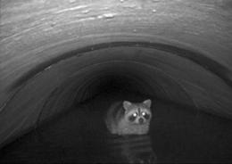 A racoon uses a highway culvert in Maryland to cross from one side of the street to the other