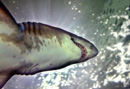 A sand tiger shark is seen at an aquarium