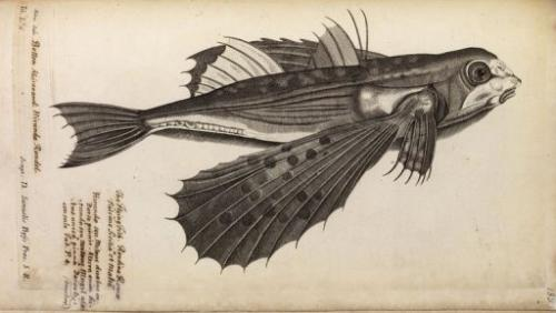A seventeenth century engraving of a flying fish from John Ray and Francis Willughby's 1686 book