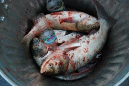 Asian carp were imported to the US to help clean up algae in commercial catfish ponds