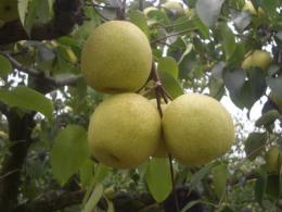 Asiatic pear genome sequenced