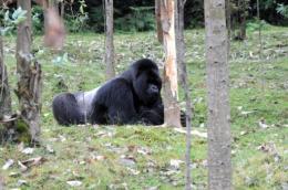 A silverback mountain gorilla at the northwestern Rwanda's Volcanoes National Park in Kinigi