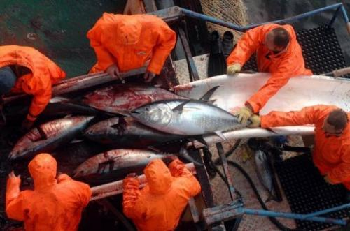 Atlantic bluefin tuna stocks are estimated to have halved over four decades in some areas
