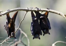A week ago some 5,000 bats lived in Sydney's Royal Botanic Gardens, today, there are just 10 left