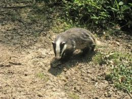 Badgers inspire 3D tracking tech