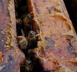 Bees 'self-medicate' when infected with some pathogens