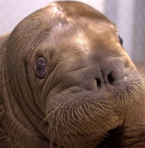 Big baby walrus coming to NYC aquarium
