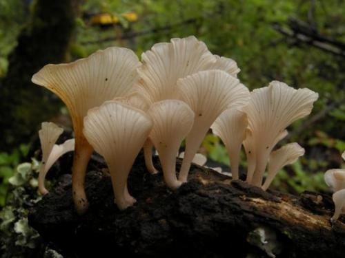 "Biologist treks across southwestern China to answer the ""killer mushroom"" question"