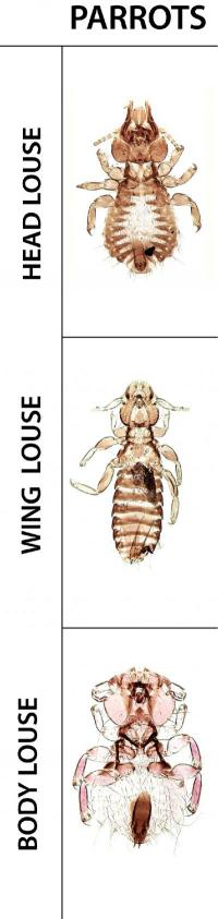 Bird louse study shows how evolution sometimes repeats itself