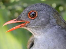 Birds do better in 'agroforests' than on farms