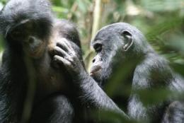 Bonobos' unusual success story