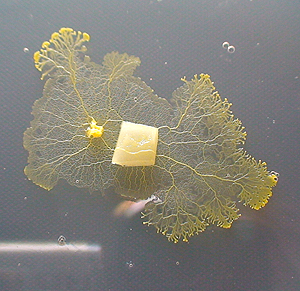 Brainless slime moulds can remember