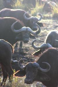 Brucellosis pathogen persists in Botswana buffalo
