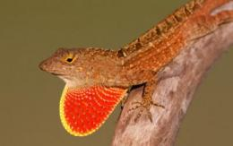 Castaway lizards offer new look at evolutionary processes