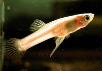 Changing climate can affect fish fertility