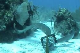 'Chum cam' underwater video survey shows that reef sharks thrive in marine reserves
