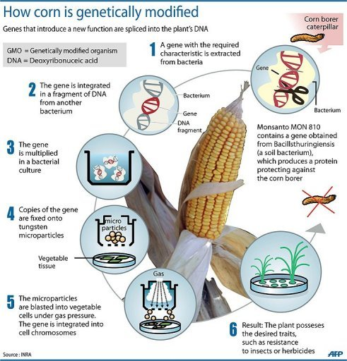 Corn is genetically modified using a gene splicing technique