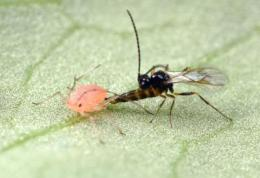 Cunning super-parasitic wasps sniff out protected aphids and overwhelm their defenses