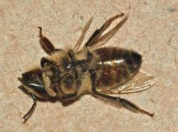 Deadly fly parasite spotted for first time in honey bees