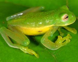 Despite global amphibian decline, number of known species soars
