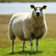 Diarrhoea in lamb flocks linked to dams