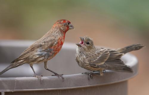 Doing the math for how songbirds learn to sing