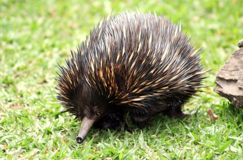Echidna insight into evolution of embryo growth