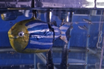 Engineered robot interacts with live fish