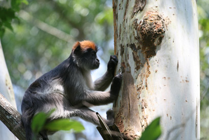 Estrogenic plants linked to altered hormones, possible behavior changes in monkeys