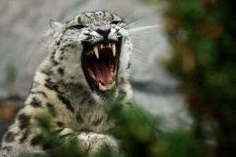 Experts say snow leopards could lose 40% of their hunting grounds by the end of the century