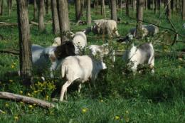 Experts suggest grazing cows, sheep, ducks in forests
