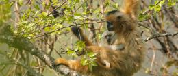 Extinction looms for gibbons in Vietnam, scientists say