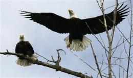 Feds say Wyo. tribe's bald eagle permit a first (AP)