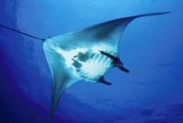 First satellite tag study for manta rays reveals habits and hidden journeys of ocean giants