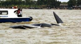 Fishermen found the 11-metre whale in waters near the beach in Muara Gembong Sunday evening