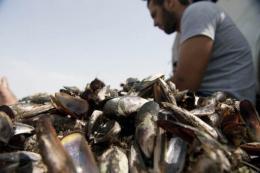 Fishermen sort mussels