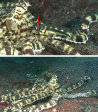Fish mimics octopus that mimics fish