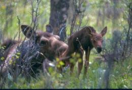 For juvenile moose, momma's boys and girls fare best