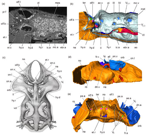 Fossil evidence supports developmental model for the origin of the jaw