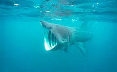 Fossil fish illuminates evolution of plankton-eating