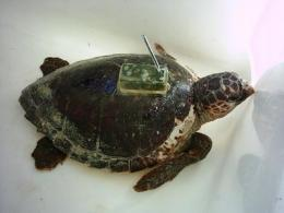 Freeing loggerhead turtles comes at a price
