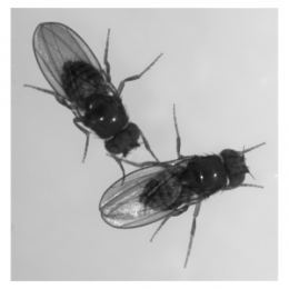Fruit flies are LinkedIn: Genes may determine social skills that could shed light on human behaviour