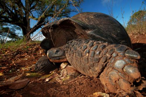 Galapagos tortoises are a migrating species