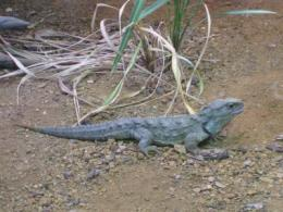 Tuatara iconic new zealand reptile shows chewing is not just for