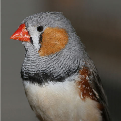 Hatching order influences birds' behaviour