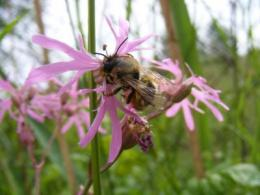 Heavy metal pollution causes severe declines in wild bees